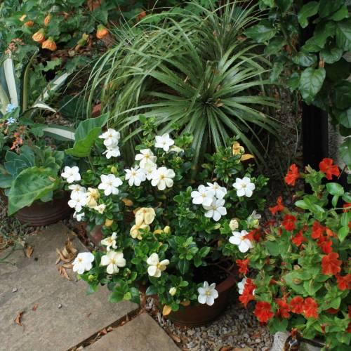 Klein Hardy Gardenia Garden Design Ideas