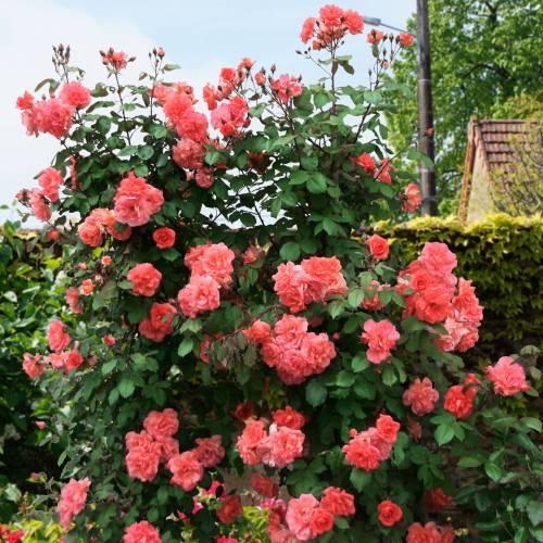 Rosal 39 alibaba 39 venta rosal 39 alibaba 39 rosa alibaba - Rosales trepadores perfumados ...