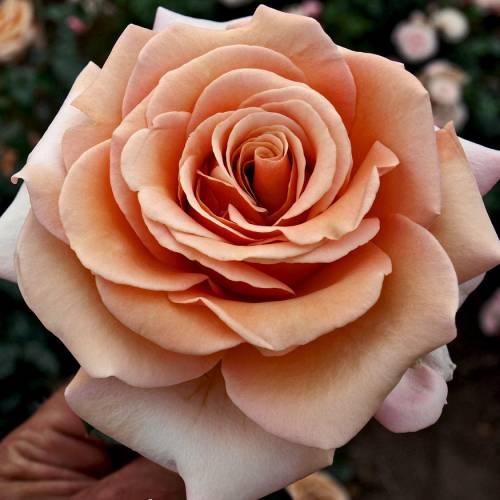 Rosal 39 mokarosa 39 venta rosal 39 mokarosa 39 rosa mokarosa - Rosales trepadores perfumados ...