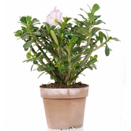 Rosa del desierto - Flores rosas : venta Rosa del desierto - Flores ...