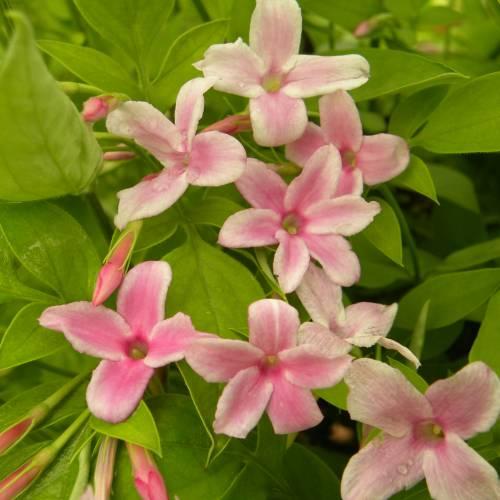 Jazm n rosado venta jazm n rosado jasminum x stephanense for Jazmin planta precio