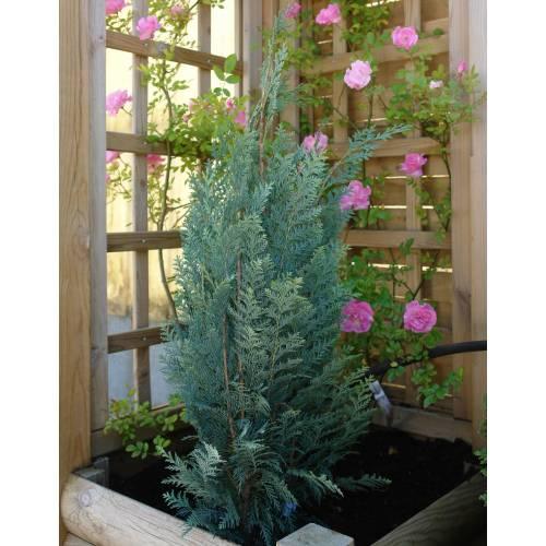 Cipr s de lawson 39 columnaris glauca 39 venta cipr s de for Arbustos enanos para jardin