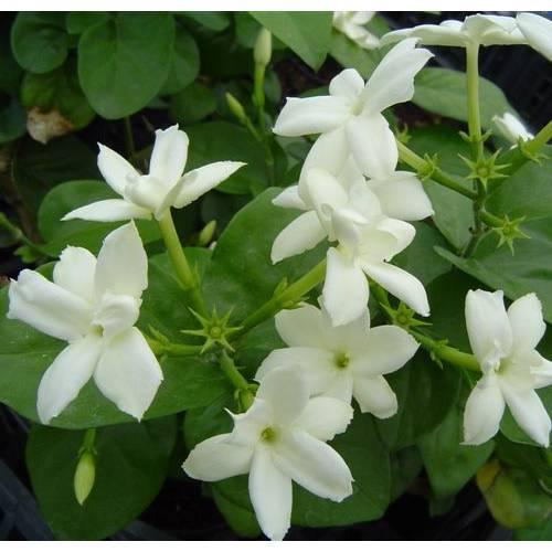 Jazm n de arabia venta jazm n de arabia jasminum sambac for Jazmin planta precio