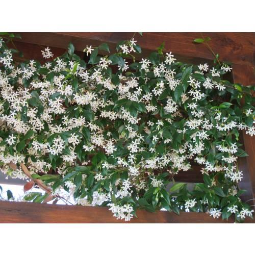 jazmín estrellado : venta jazmín estrellado / trachelospermum