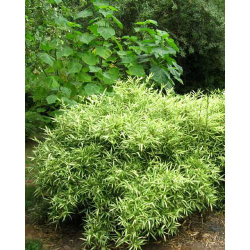 Bamb pleioblastus shibu tsuboii venta bamb - Seto de bambu ...