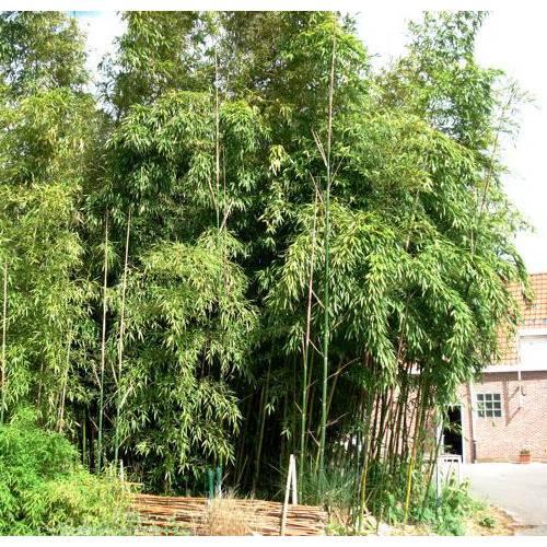 Bamb phyllostachys viridiglau venta bamb phyllostachys viridiglau phyllostachys - Jardin de bambu talavera ...