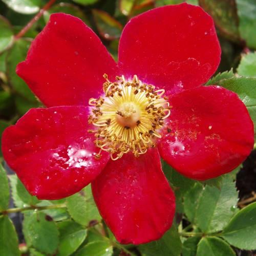 Rosal 39 red velvet 39 venta rosal 39 red velvet 39 rosa red velvet - Rosales trepadores perfumados ...