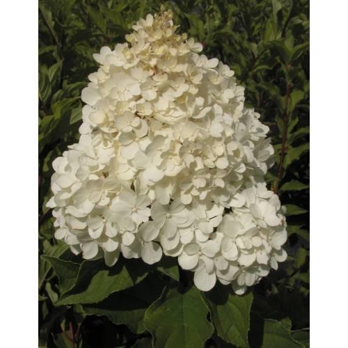 hortensia de pan culas 39 vanille fraise 39 venta hortensia. Black Bedroom Furniture Sets. Home Design Ideas
