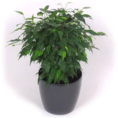 Ficus cubremaceta antracita venta ficus cubremaceta - Ficus benjamina precio ...