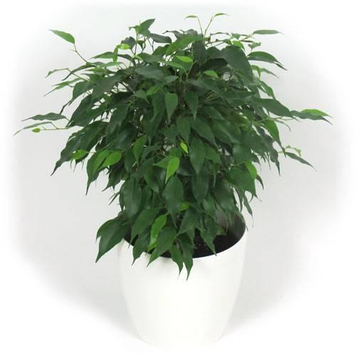 Ficus cubremaceta blanca venta ficus cubremaceta - Ficus benjamina precio ...