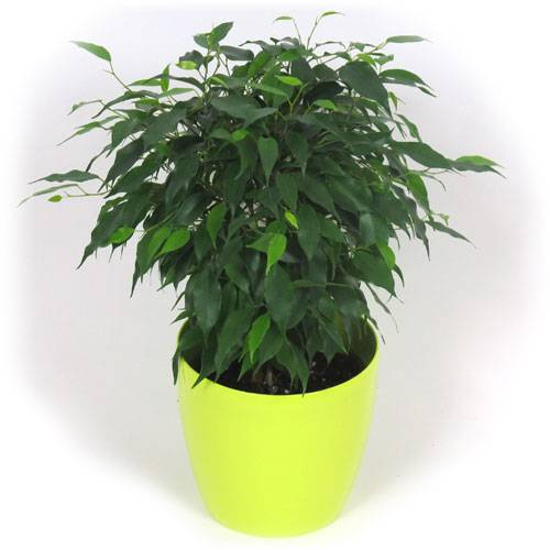 Ficus cubremaceta verde lim n venta ficus - Ficus benjamina precio ...
