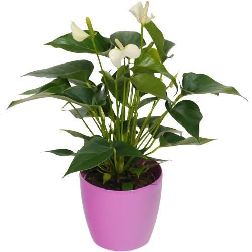Anturio blanco cubremaceta rosa venta anturio blanco for Plantas de interior precios