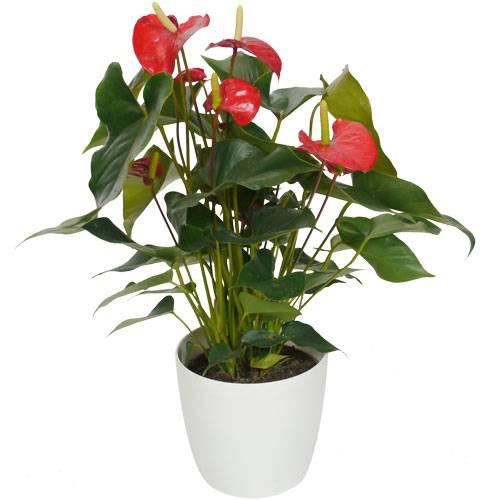 Planta de interior anturio rojo maceta blanca venta for Fotos de plantas en macetas