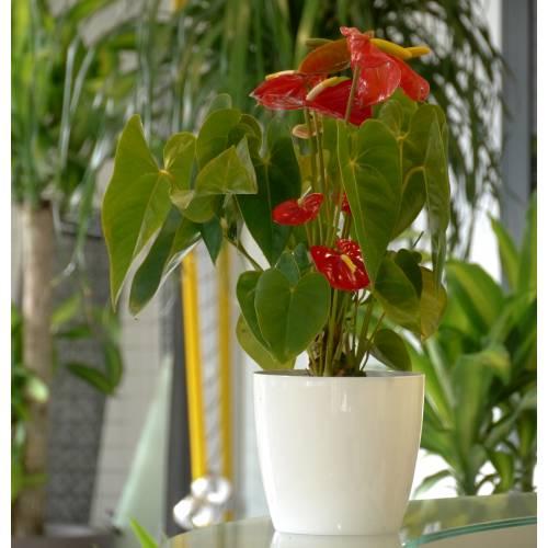 Planta de interior anturio rojo maceta blanca venta - Plantas de interior comprar ...