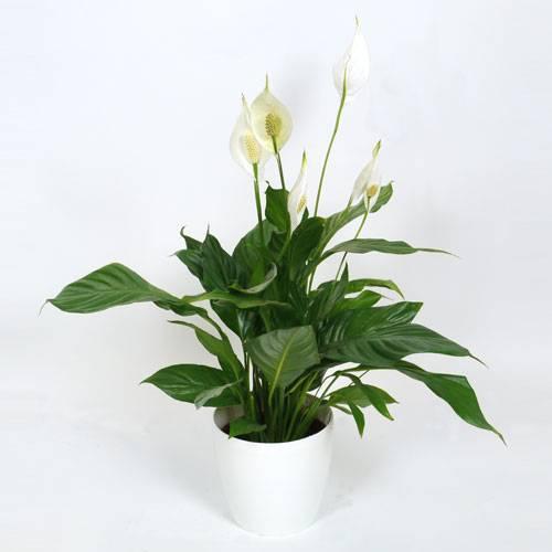 Planta de interior spathiphyllum maceta blanca venta - Macetas para plantas de interior ...
