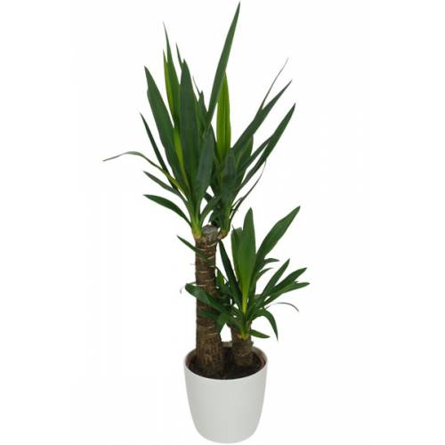 Planta de interior yuca 2 troncos maceta blanca venta for Fotos de plantas en macetas