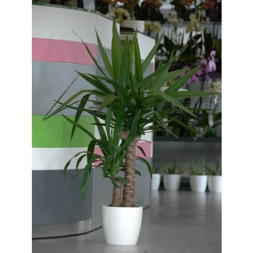 planta de interior yuca 2 troncos maceta blanca venta