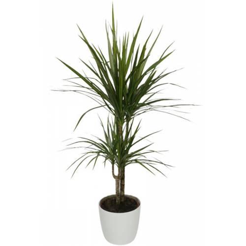 Planta de interior Dracaena + Maceta Blanca : venta Planta de ...