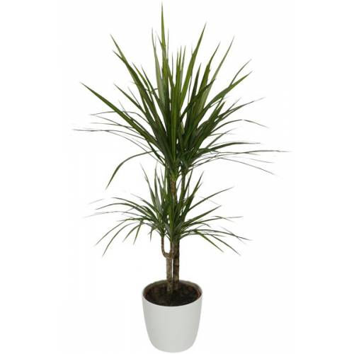 planta de interior dracaena maceta blanca venta planta