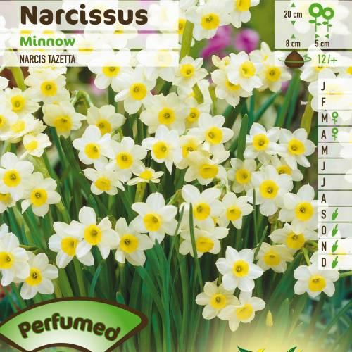 Venta bulbos de Narciso