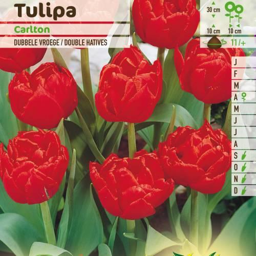 tulipán doble precoz 'carlton' : venta tulipán doble precoz