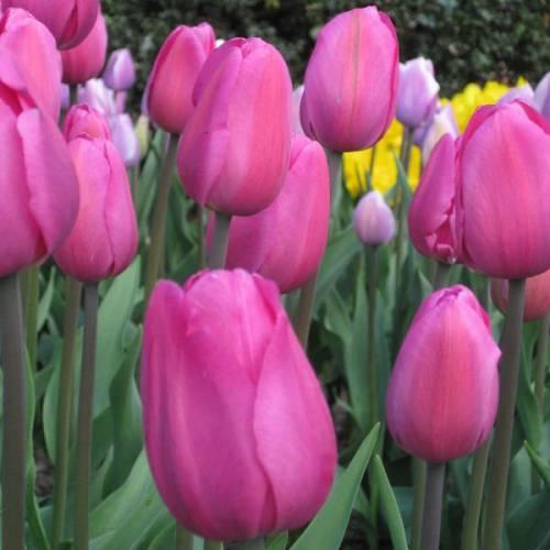 tulipán triunfo 'don quijote' : venta tulipán triunfo 'don quijote' /