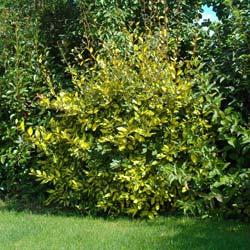 Eleagnus ebbingei 'Limelight'