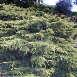 Juniperus horizontal 'Old Gold'