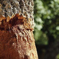 Roble quercus rbol venta online de plantones de roble for Vivero online arboles