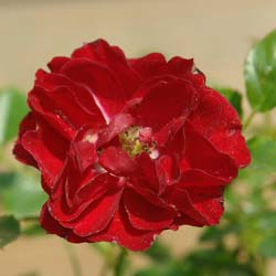 Rosal 'Fairy Donkerrood'