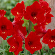 Amarilis 'Red Lion' simple