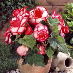 Begonia doble 'Bouton de rose'