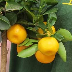 Frutas ex ticas y plantas c tricas venta online for Plantas exoticas online