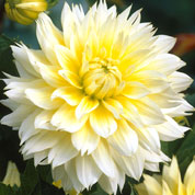 Dalia decorativa 'Canary Fubuki'