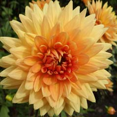 Dalia decorativa 'House of Orange'