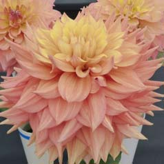 Dalia decorativa 'Peaches and Cream'