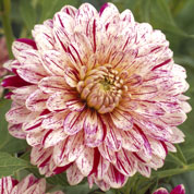 Dalia decorativa 'Smokey'