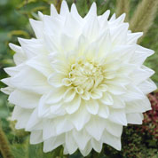 Dalia decorativa 'White Perfection'