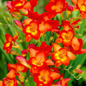Freesia simple roja