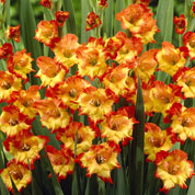Gladiolo 'Princess Margaret'