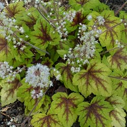 Heuchera 'Stoplight'