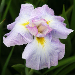 Iris japonés 'Lady in Waiting'