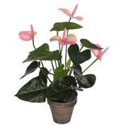Planta Artificial - Anthurium Rosa - MICA