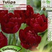 Tulipán doble tardío 'Uncle Tom'